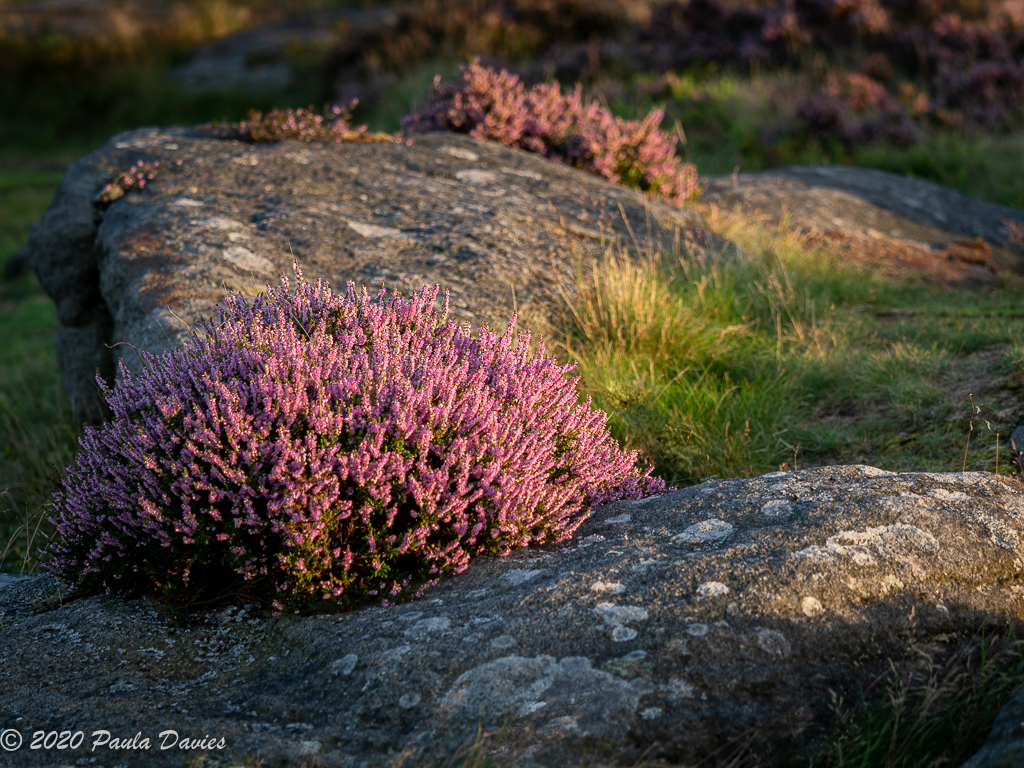 Heather in Evening Light